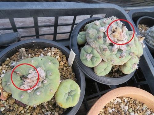 ロフォフォラ・翠冠玉(白花)早くも、結実して片方種子が弾けています。2020.07.31