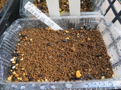 ロフォフォラ・翠冠玉(白花)早速、種子、採りまきしました。2020.07.31