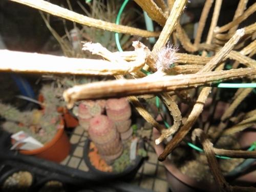ペニオセレウス・ストリアータス(Penioereus striatus)メキシコ、ソノラ砂漠、花芽が上がって来ました♪塊根性こん棒状サボテン。2020.08.02