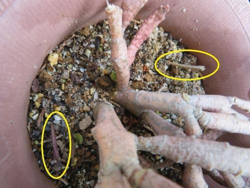 ユーフォルビア・プラティクラダ(Euphorbia platyclada)すでに鉢内にこぼれ種発芽。2020.08.03