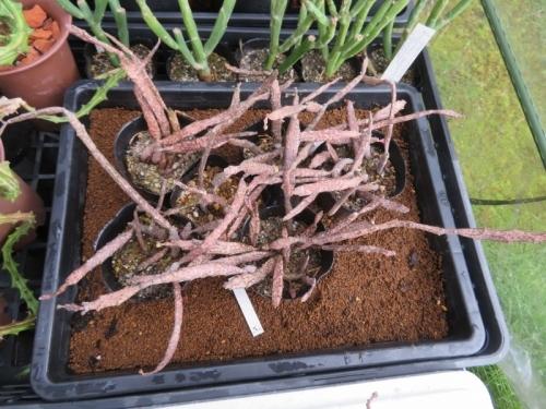 ユーフォルビア・プラティクラダ(Euphorbia platyclada)こぼれ種発芽しても良いように育苗バッドの上に置きました。。2020.08.03