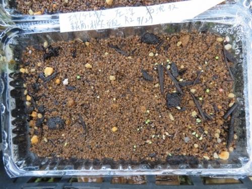 エキノケレウス・美花角、桃太郎交配(自家採取種子)2020.07.27実生苗もう発芽しています。2020.08.04