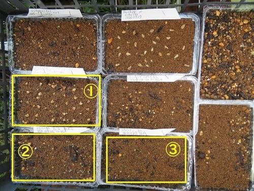 エキノケレウス、テフロカクタス、エケベリア他、多肉サボテン実生苗いろいろ、発芽は始まったのは3品だけです。2020.08.04
