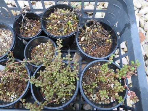 ピレア・グロボーサ(Pilea serpyllacea globosa)ペルー・クスコ原産、徒長と過湿で根腐れ気味、高温多湿に弱そうです。2020.08.05