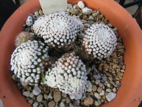 マミラリア・ルエッティー(Mammillaria luethyi)真夏の姿2020.08.06