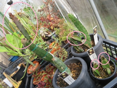 ペニオセレウス・マクラタス(Peniocereus maculatus)塊根性柱サボテン、ようやく新茎節が伸びてきました。2020.08.07