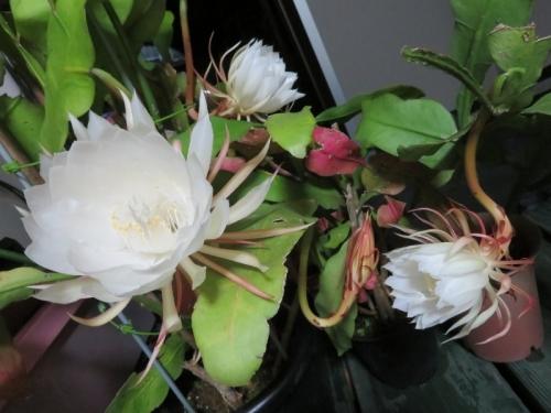 月下美人(Epiphyllum oxypetalum)が夜10時過ぎに咲きました♪2020.08.08