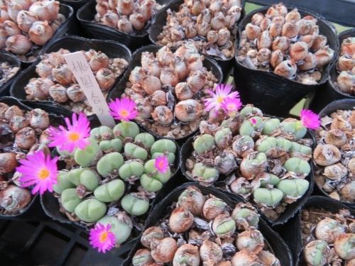 コノフィツム・花園(ピンク花)結構狂い咲き~♪2020.08.09