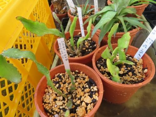 ミニドラゴンフルーツ(Epiphyllum phyllanthus guatemalense 'Monstrosa')2016.09.10実生苗~ダメ~2020.08.13