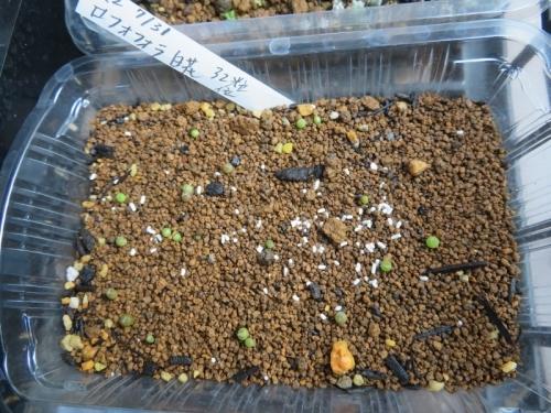 ロフォフォラ・翠冠玉(白花)自家採取種子実生(2020.07.31)採りまき~発芽しています。2020.08.15