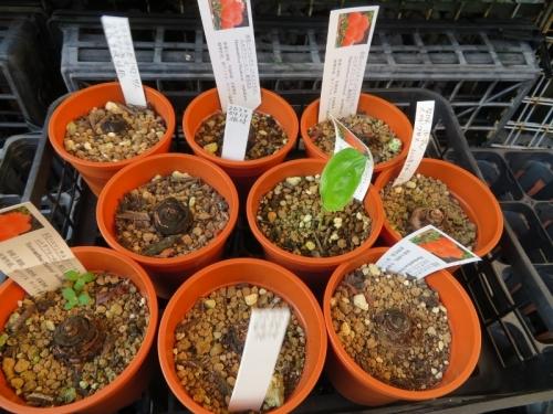スカドクサス・ムルチフロス、昨年腐らせてしまった球根のその後、ほとんど芽が出てきません(ToT)。2020.08.18