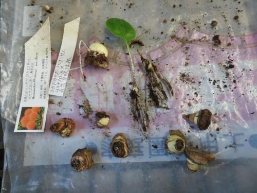 スカドクサス・ムルチフロス、昨年腐らせてしまった球根のその後、根土を落とし球根を調べますと根もなく下半分が黒く変色して硬くなっていました。。(ToT)。2020.08.18