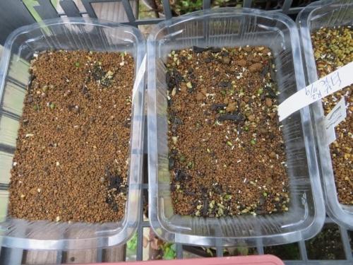 アリオカルプス自家採取種子(白花、右)(赤花、左)実生、2020.07.10、猛暑の中どうにか出揃い生き残っています。2020.08.22