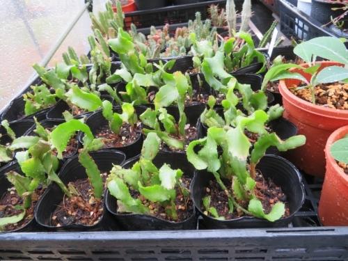 ミニドラゴンフルーツ(Epiphyllum phyllanthus guatemalense 'Monstrosa')2016.09.10実生苗~ダメ~2020.08.13置き場所を変えたらぐんぐん成長始めました。2020.08.23