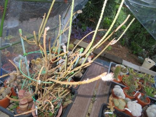 ペニオセレウス・ストリアータス(Peniocereus striatus)まだまだ花芽が付いているので楽しみです。2020.08.24