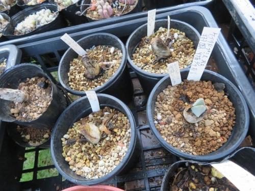 ケイリドプシス・翔鳳(祥鳳)(Cheiridopsis peculiaris)2017.01.26実生苗、2020.08.14、休眠皮を被り縮こまっていました。