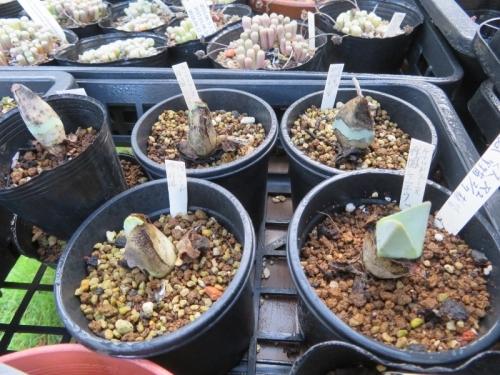ケイリドプシス・翔鳳(祥鳳)(Cheiridopsis peculiaris)2017.01.26実生苗、少し新葉が動いていたので水やりすると休眠皮を破り成長し始めています。2020.08.28