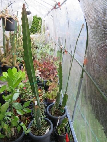 ペニオセレウス・マクラタス(Peniocereus maculatus)三角柱の様な新茎節がぐんぐん伸びます♪2020.08.28