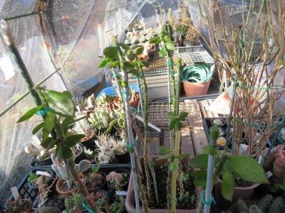 接ぎ木苗が成長するように屋外、遮光ネットをかけている簡易ビニールハウスに出しました。2020.08.30