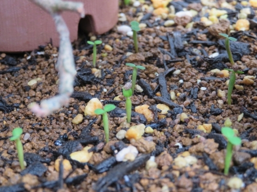 ユーフォルビア・プラチクラダ、開花後、こぼれ種キャッチャーに発芽中♪2020.09.02