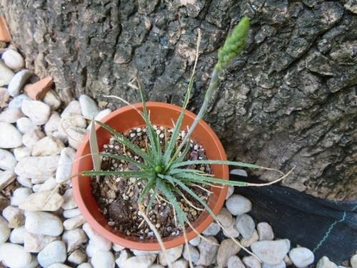 アロエ・ボウィエア(Aloe bowiea)、小型アロエ、花芽が2つ来ています♪2020.09.05