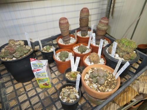 サボテン色々植え替えして、殺ダニ剤(コロマイト)散布しました。コピアポア、エキノケレウス、ギムノカリキウム、など2020.09.06