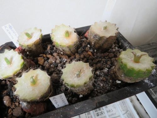 エキノプシスに実生苗(テフロカクタス)と新芽(アポロクタス・金紐イースター交、メラニー)配接ぎをしました。4日目~2020.09.07
