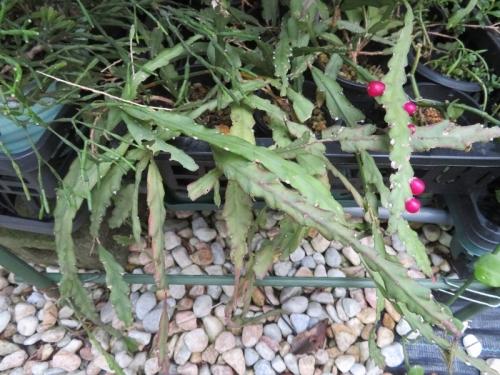 レピスミウム・クルシフォルメ(ネズミ尾葦)(Lepismium cruciforme)平べったい茎節、何もしていないのに、赤い実タネができました♪2020.09.08