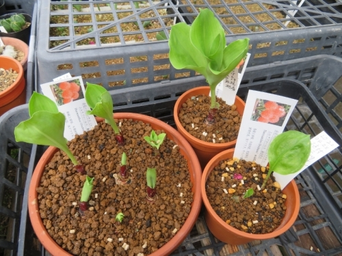 スカドクサス・ムルチフロスHaemanthus(Scadoxua)multiflorsu、半分腐った球根を2020.08.19再度掃除して清潔な用土で植え替えしておきました。どんどん葉が生えいています。2020.09.08
