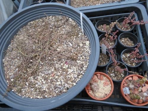 ピレア・グロボーサ(Pilea serpyllacea globosa)、やはり枯れてしまったようです。2020.09.09