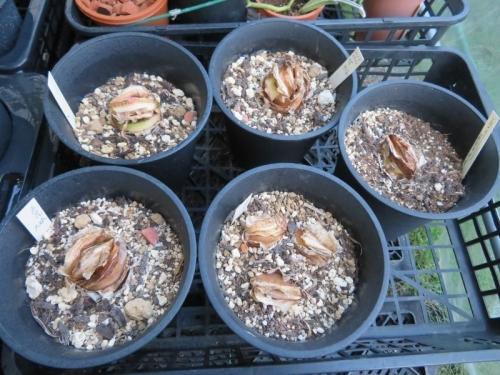 赤花マユハケオモト(ハエマンサス・コッキネウス)落葉タイプ、目覚めたようです♪2020.09.10