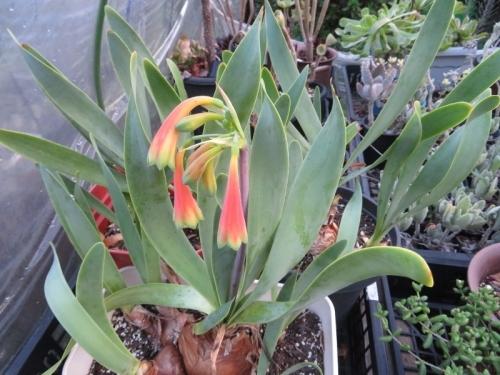 キルタンサス・オブリスク、今年2度目の開花♪雨水がかかる場所の鉢だけ開花しています。2020.09.10