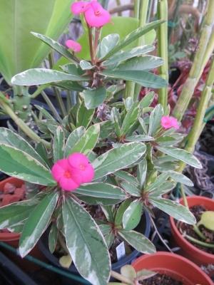 斑入りハナキリンのピンク花か咲いています♪カワイイ~2020.09.10