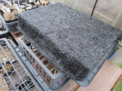 サボテン実生苗のピンポイント遮光の様子、育苗バットに遮光ネットを張り、風通し良く重ね猛暑から保護しています。2020.09.10