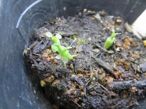 セロペギア・シモネアエ(Ceropegia simoneae)2020.06.26自家採取種子実生苗~2020.09.18