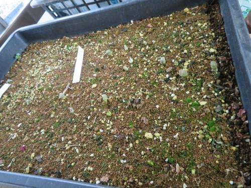 リトープス(自家採取種子)、たくさん実生して植え替えした苗、うまく育っていません(T_T)植え替えします。2020.09.21