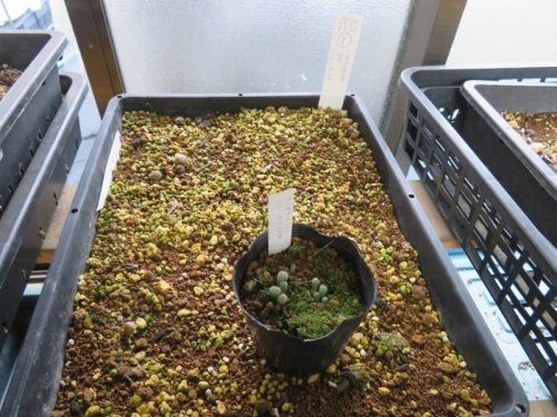 リトープス(自家採取種子)、たくさん実生して植え替えした苗、うまく育っていません(T_T)植え替えします。フリチラ・光玉2020.09.21