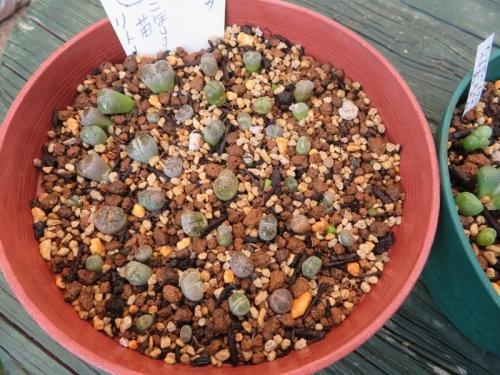 リトープス(自家採取種子)、たくさん実生して植え替えした苗、うまく育っていません(T_T)植え替えました。2020.09.21