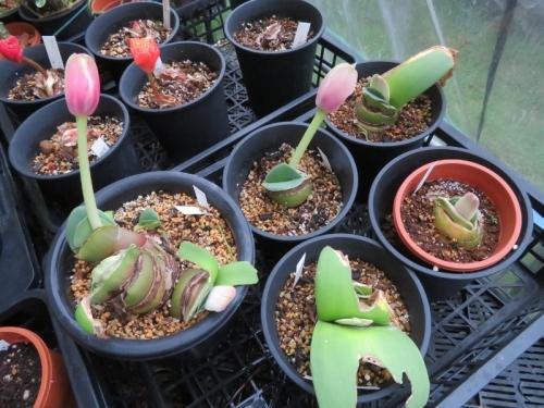 赤花マユハケオモト、株分けして、虫に食われてしまった常緑葉、すべて花芽が上がっています♪2020.09.23