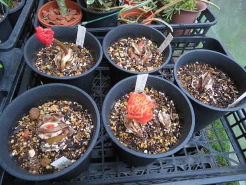赤花マユハケオモト・コッキネウス、4か所赤い花芽が上がっています♪2020.09.23
