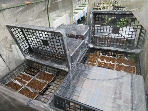 育苗バットでミニ温室を作りました。縁を2ヶ所ビニールタイで止めて可動します♪2020