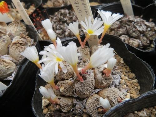 コノフィツム・ネオハリー(白花)2020.09.14、休眠皮を被りながらも咲いています♪
