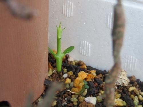 ユーフォルビア・プラチクラダの花が咲いているので、こぼれ種キャッチャーに発芽中~その後♪この発芽苗は何でしょう?2020.09.28
