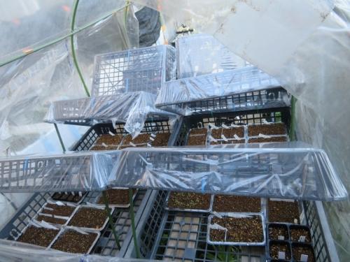 ビニールで上蓋をした実生苗養生バット、9月秋晴れ気温が上がりつっかえ棒をして、慌てて蓋を開けました。2020.09.28