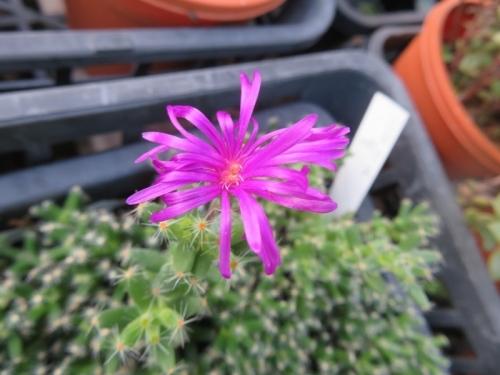 トリコディアデマ・紫晃星2018.08.30実生苗、2020年、春から開花しています。紫晃星の花というよりも姫紅小松の花のようです。2020.09.30