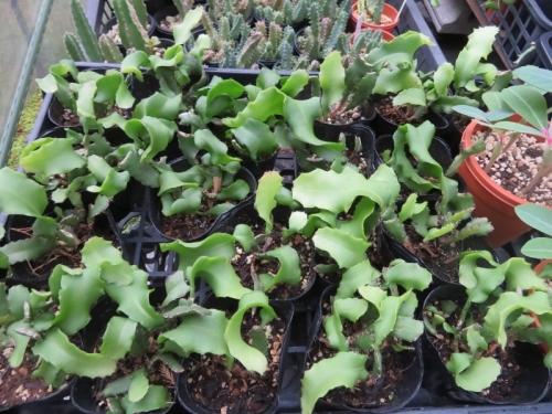 ミニドラゴンフルーツ(Epiphyllum phyllanthus guatemalense 'Monstrosa')2016.09.10実生苗、こんなに大きくなりました♪2020.10.02