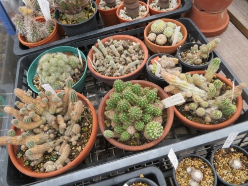 カマエロビビアいろいろ、ピーチフラッシュ、フロリダオレンジ、シュガーホワイト、イエロードロップ、殺ダニ剤でキレイな新茎節が出てきました。2020.10.04
