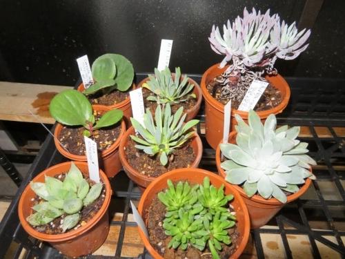 冬型多肉植物、クラッスラ・サキシフラガ(左上)、オトンナ・レトロルサ(上中)、他ダドレアなど2020.02.23