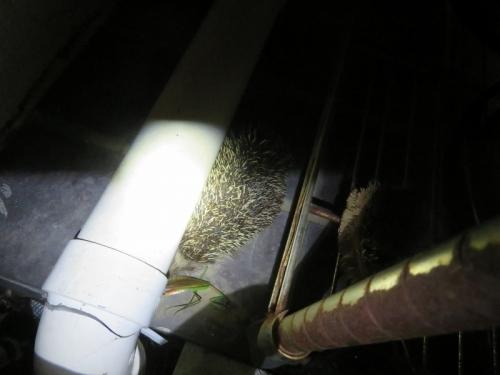 野生のハリネズミちゃん、我が家の庭にいましたいました♪久々に会いました♪2020.10.06