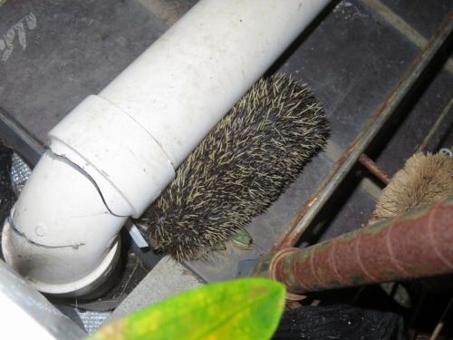 野生のハリネズミちゃん、カマキリ捕まえて我が家の庭にいましたいました♪久々に会いました♪2020.10.06